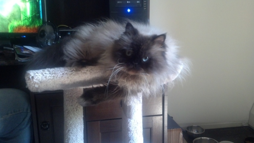 Toby hanging out on the cat tower